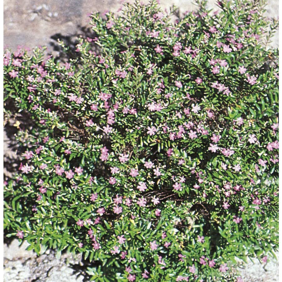 2.25-Gallon Mexican Heather (L7071)