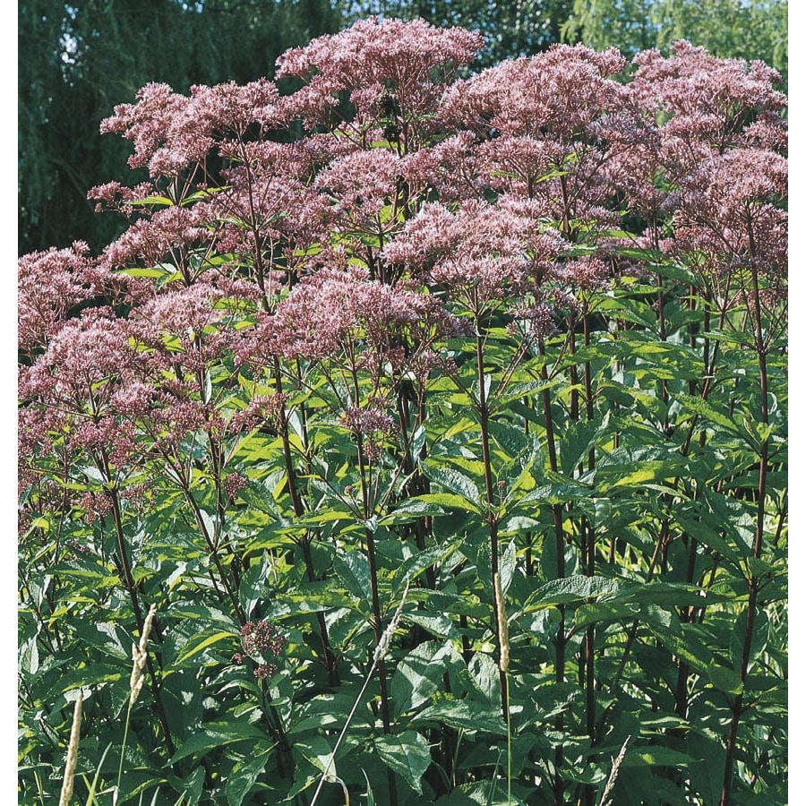 2.25-Gallon Joe Pye Weed (L8159)