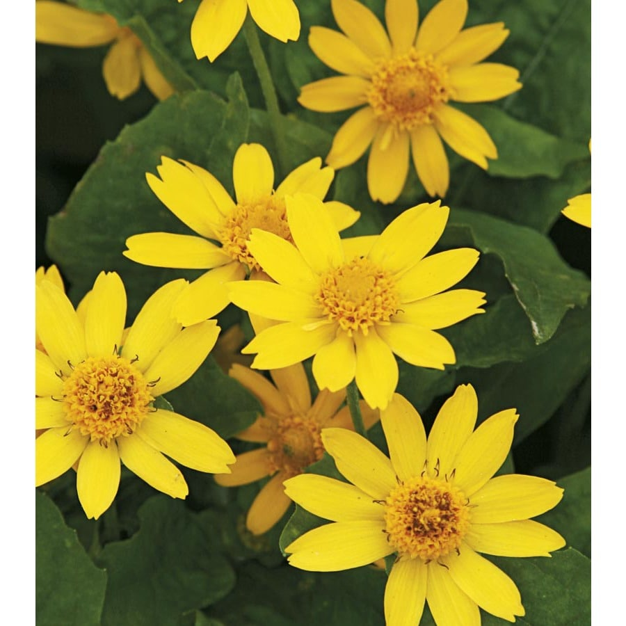 2.25-Gallon Butter Daisy (L9167)