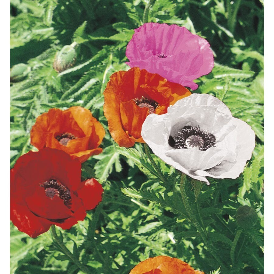 2.25-Gallon Oriental Poppy (L6366)