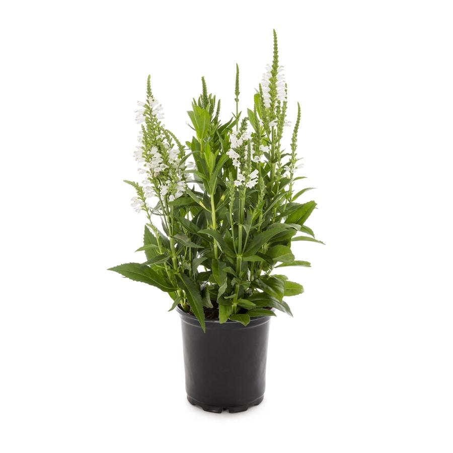 2.25-Gallon Obedient Plant (L11508)