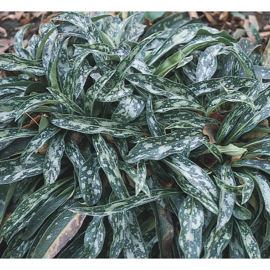 2.25-Gallon Longleaf Lungwort (L5677)