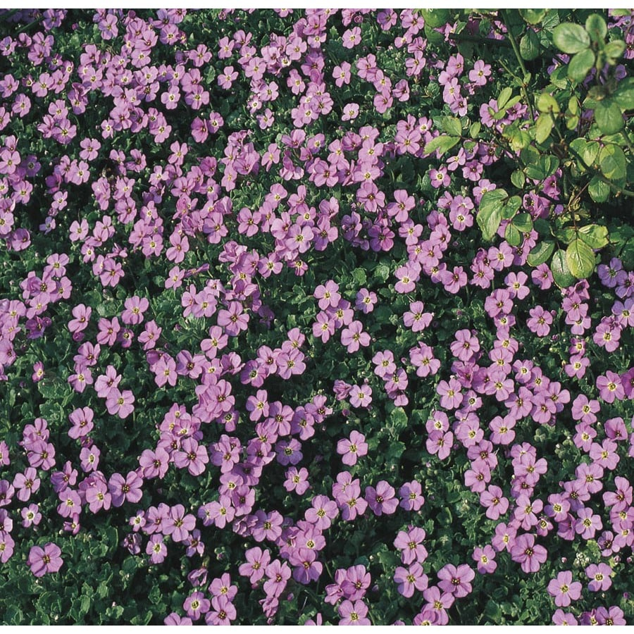 1-Gallon Rock Cress (L5017)