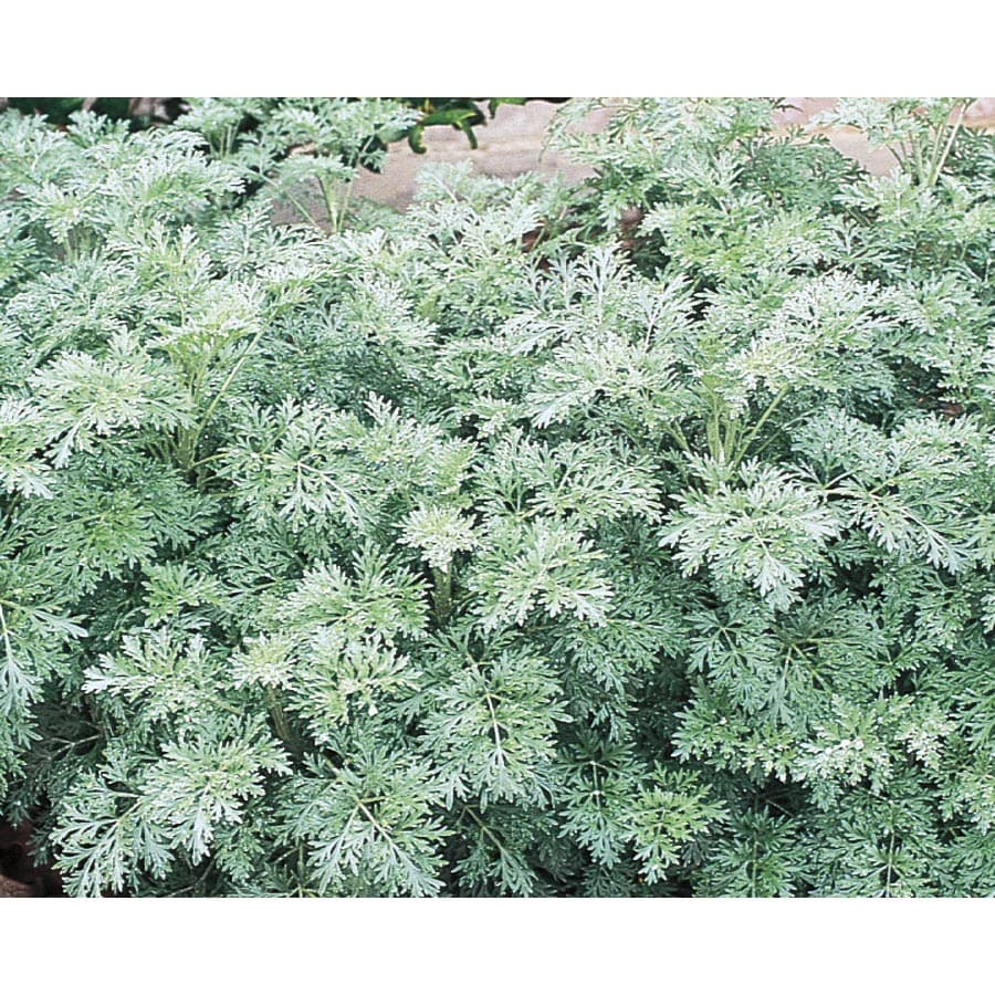 1-Gallon Artemisia (L15144)