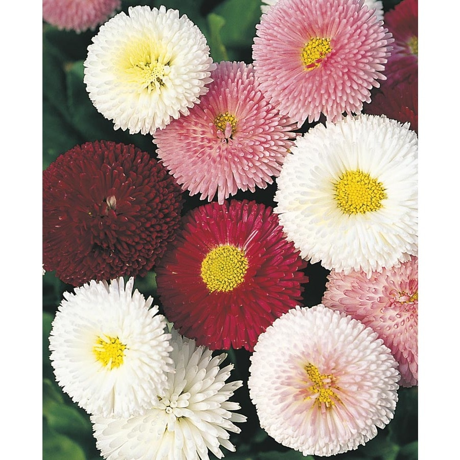 1-Gallon English Daisy (L24885)