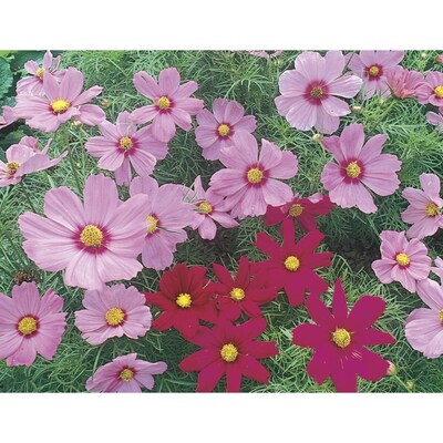 1 Gallon In Pot Cosmos L11709 At Lowes Com
