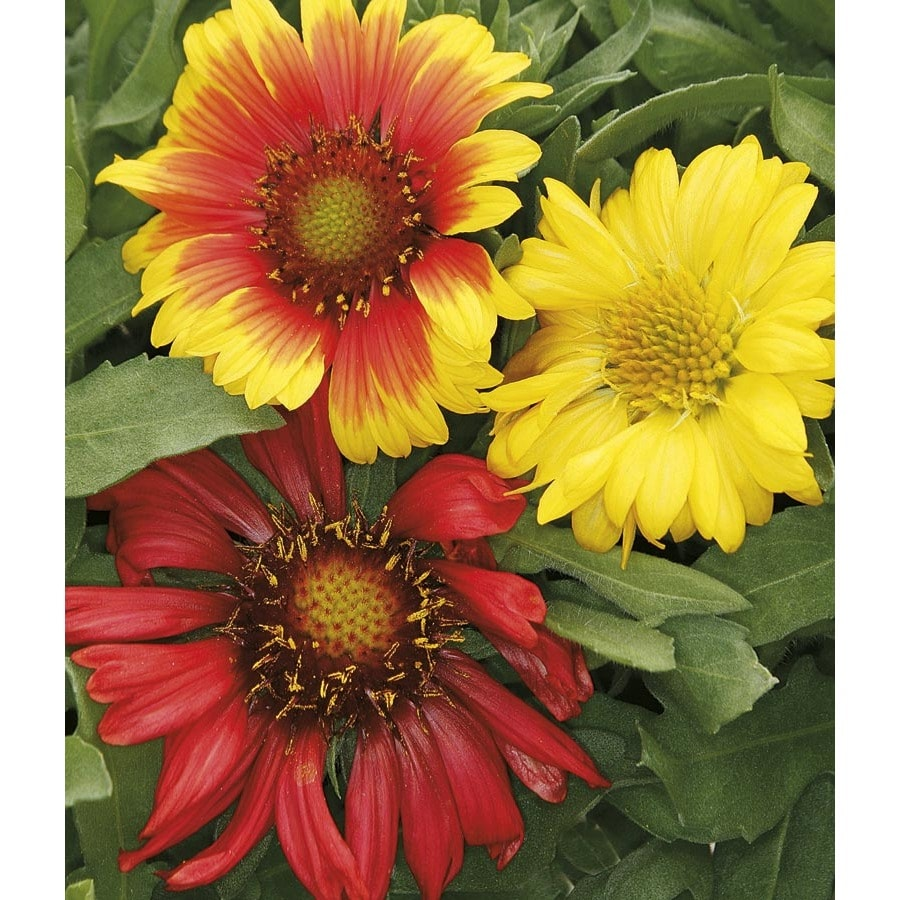 1-Gallon Blanket Flower (L10067)