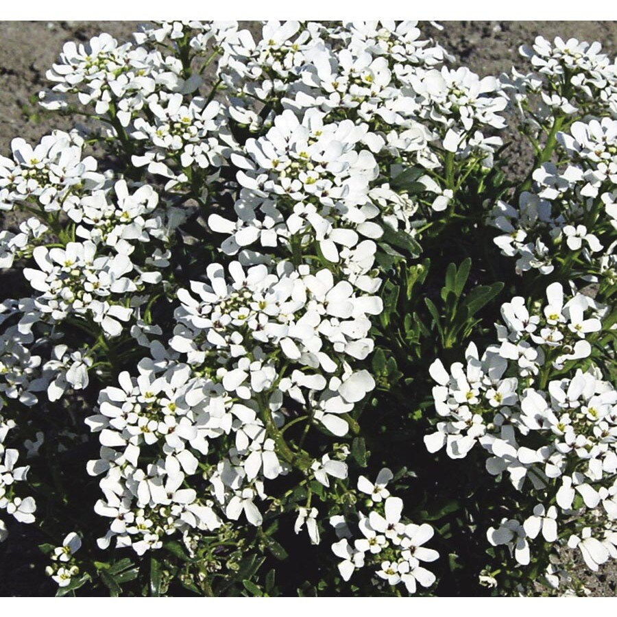 1-Gallon Candytuft (L6685)