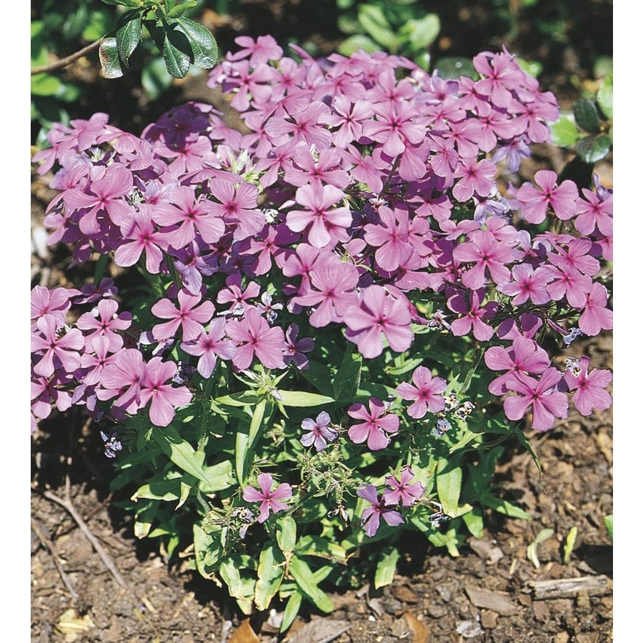 1-Gallon Woodland Phlox (L04305)
