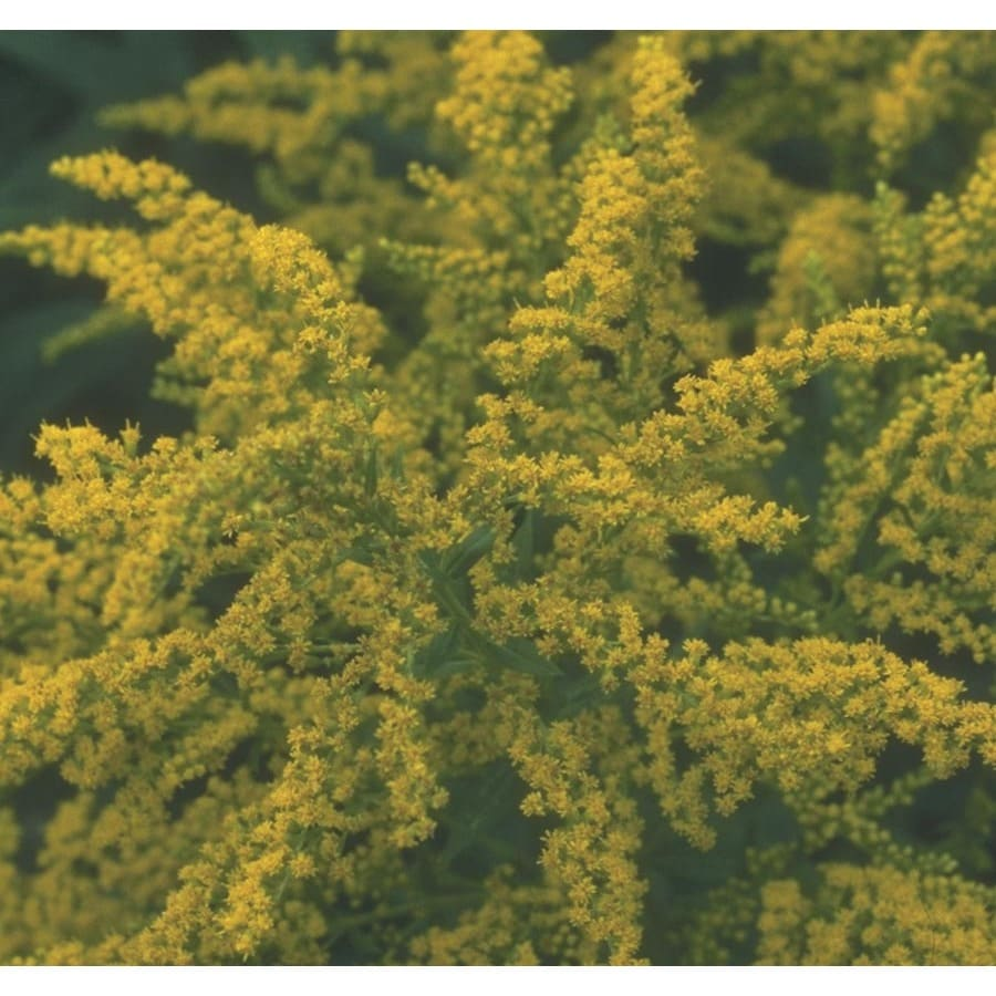 1-Gallon Golden Rod (L9177)