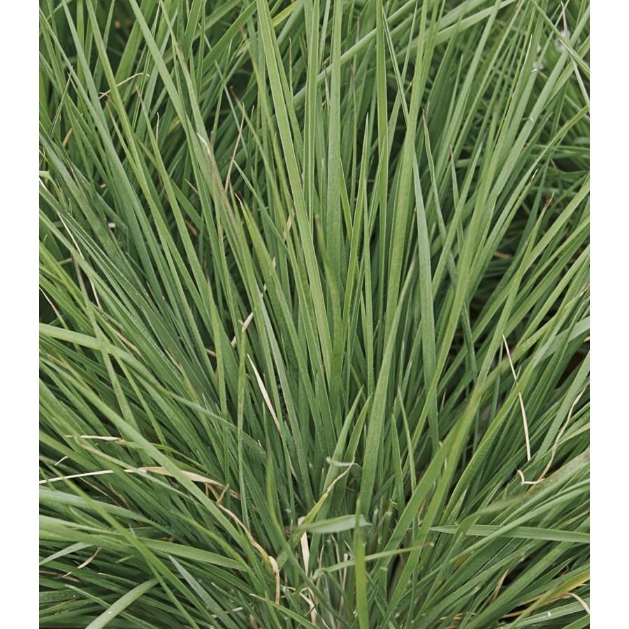 2.5-Quart Savannah Ruby Grass (LW03102)