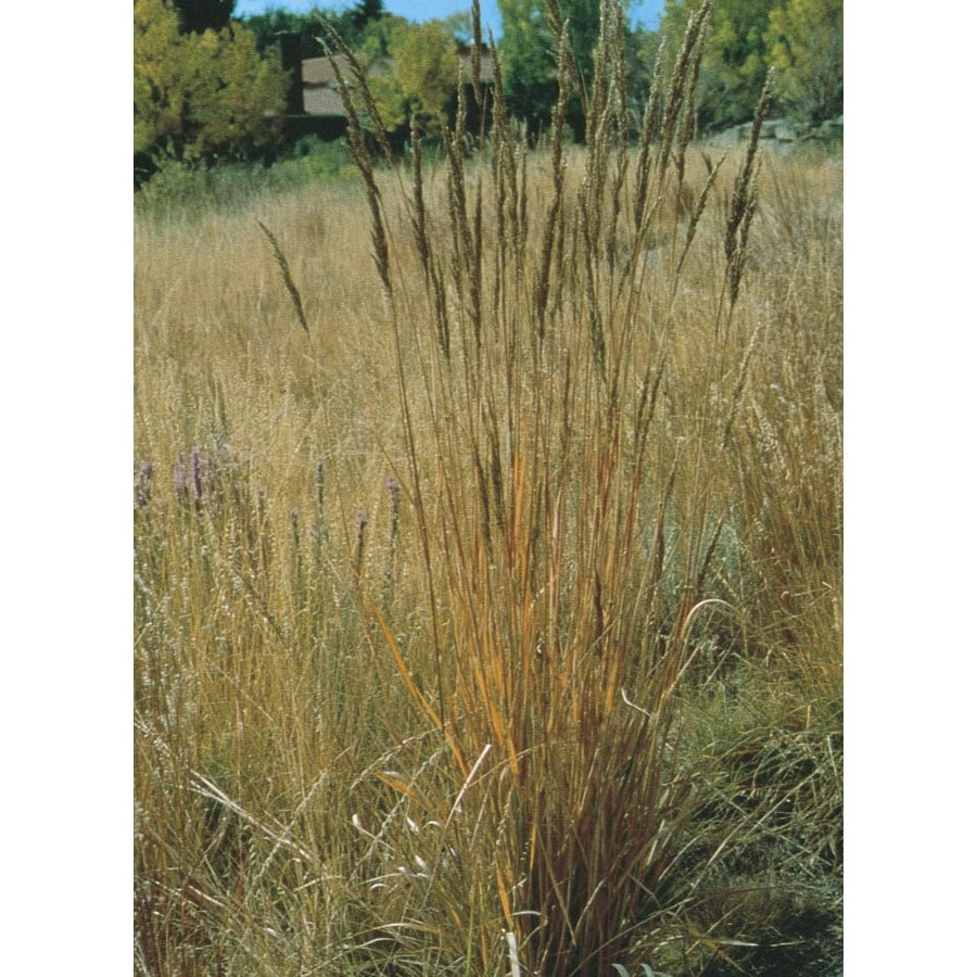 2.5-Quart Indian Grass (L11489)