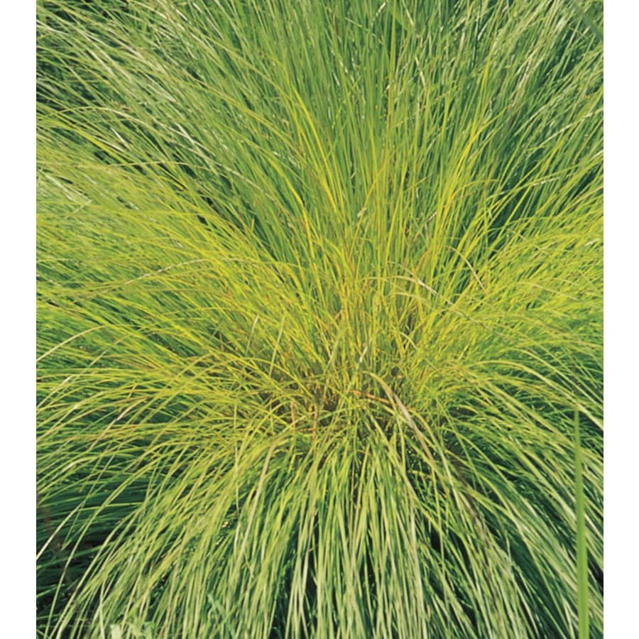 2.5-Quart Prairie Dropseed Grass (L16411)