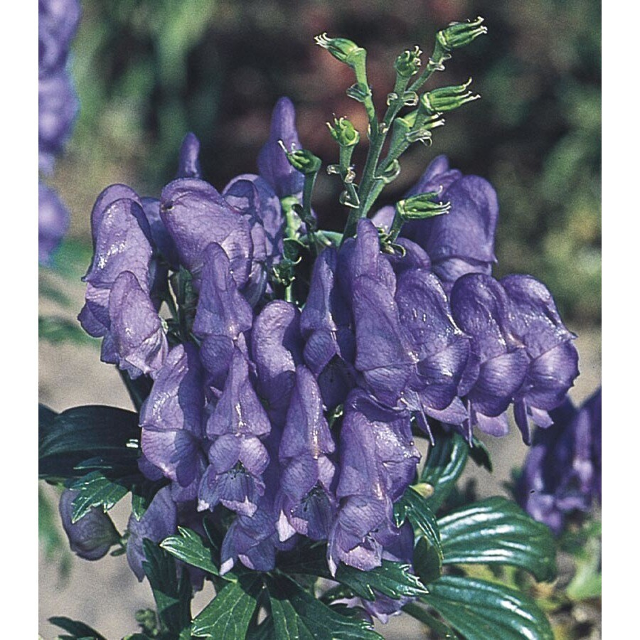 1.5-Gallon Monkshood (L14979)