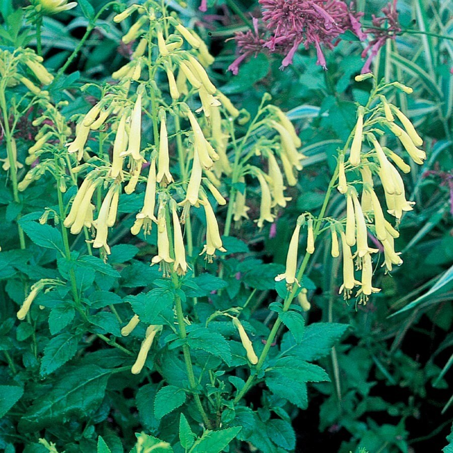 1.5-Gallon Yellow Trumpet Cape Fuchsia (L16657)