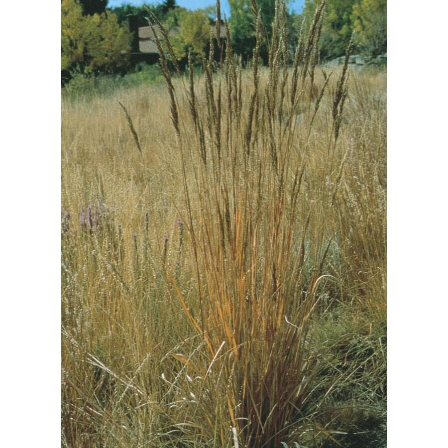 1-Quart Indian Grass (L11489)