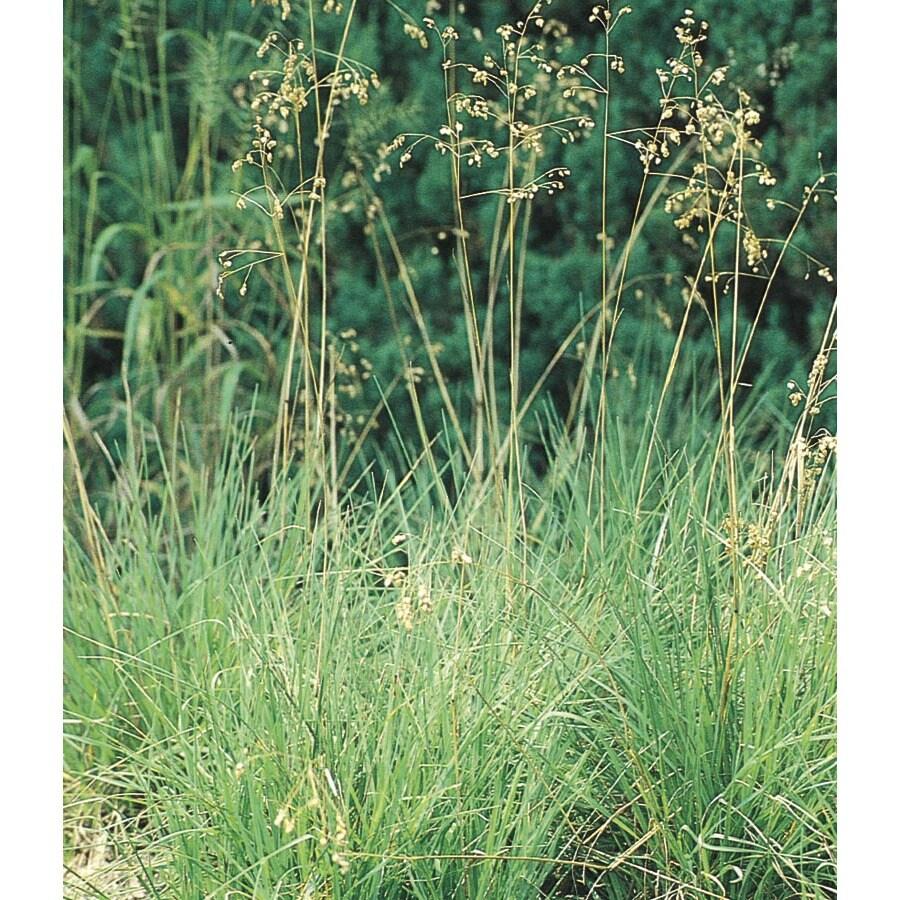 1.5-Gallon Quaking Grass (L5028)