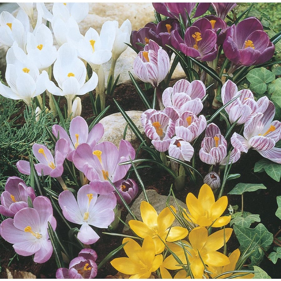 1-Quart Crocus Bulbs