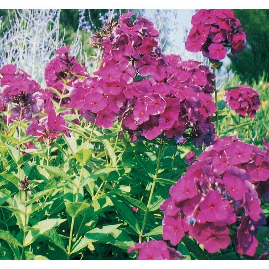 1-Quart Garden Phlox (L6680)