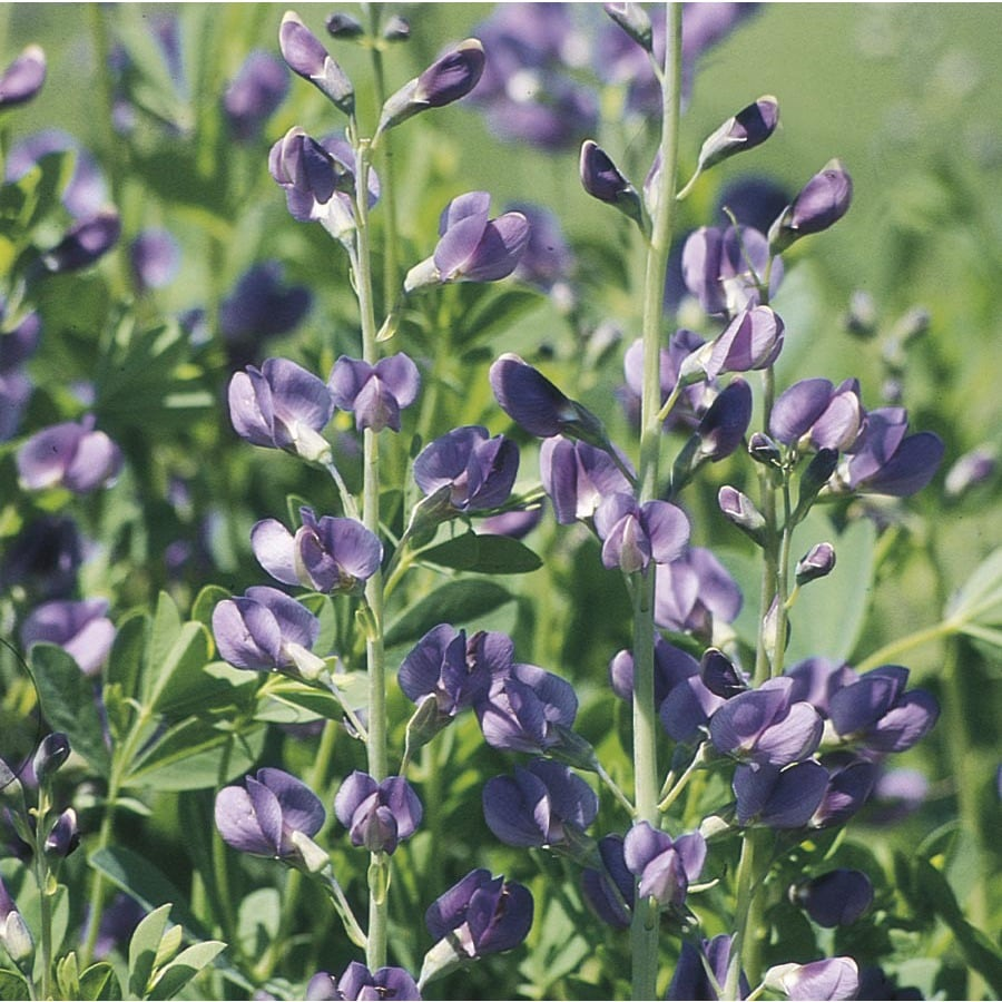 1-Gallon False Indigo (L10969)