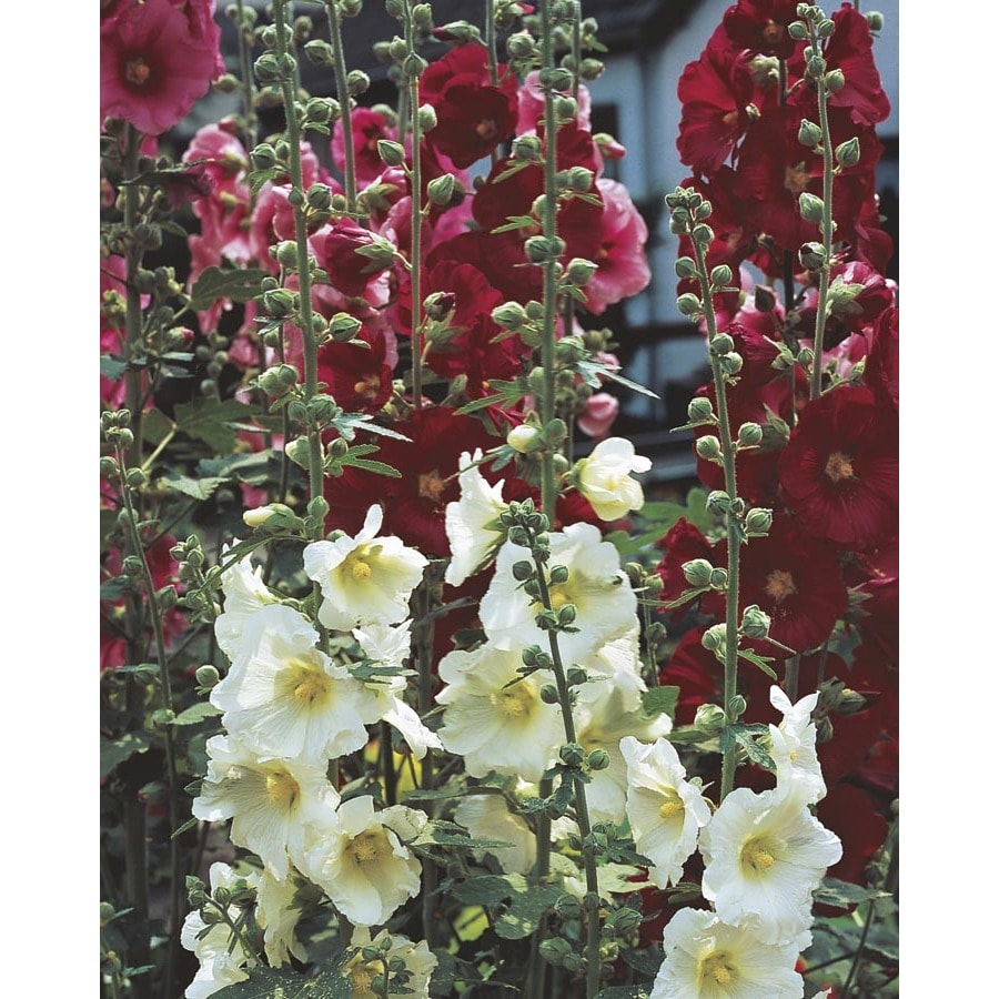 1-Quart Hollyhock (L15013)