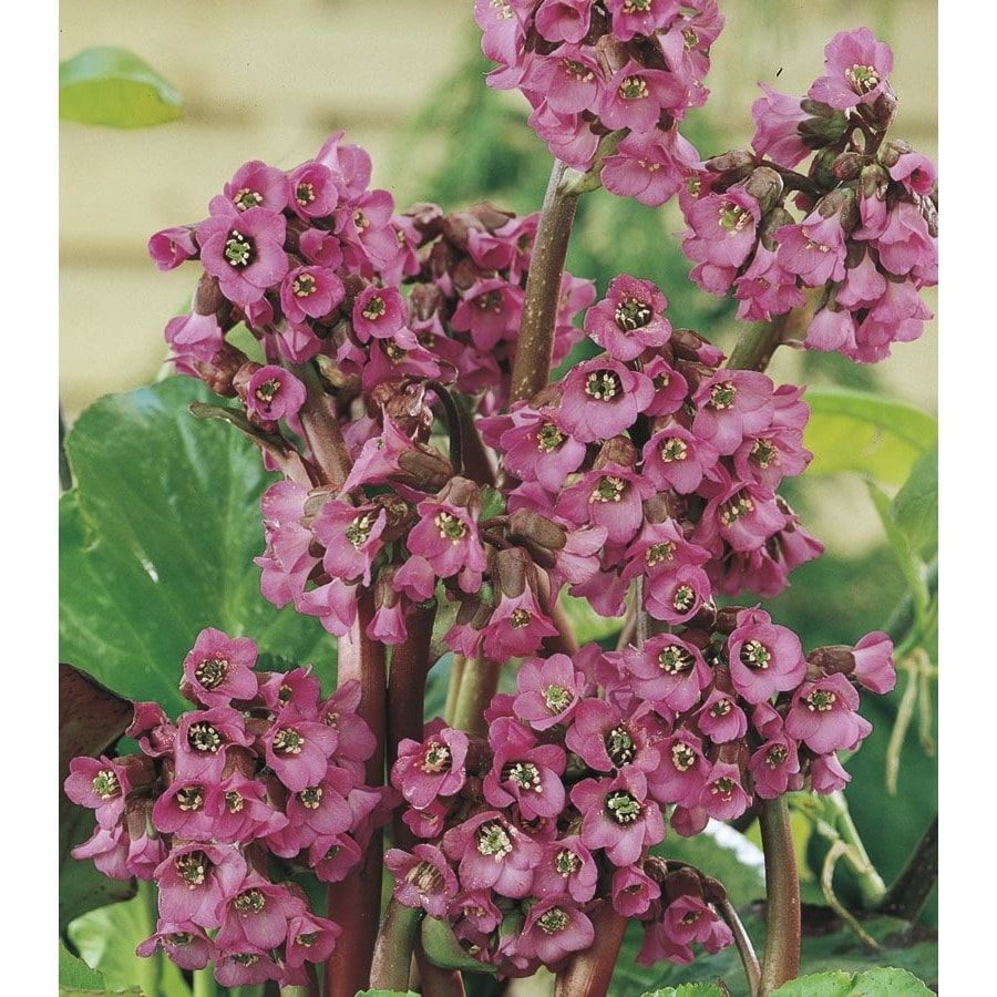 1-Quart Heartleaf Bergenia (L4437)