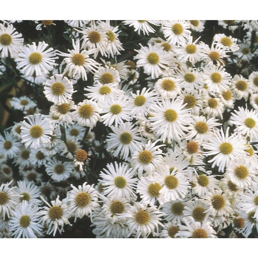 1-Quart Snowbank Boltonia (L15236)