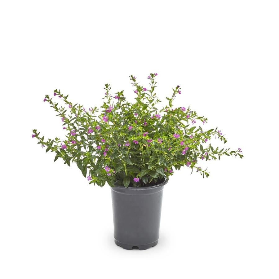 1-Quart Mexican Heather (L7071)