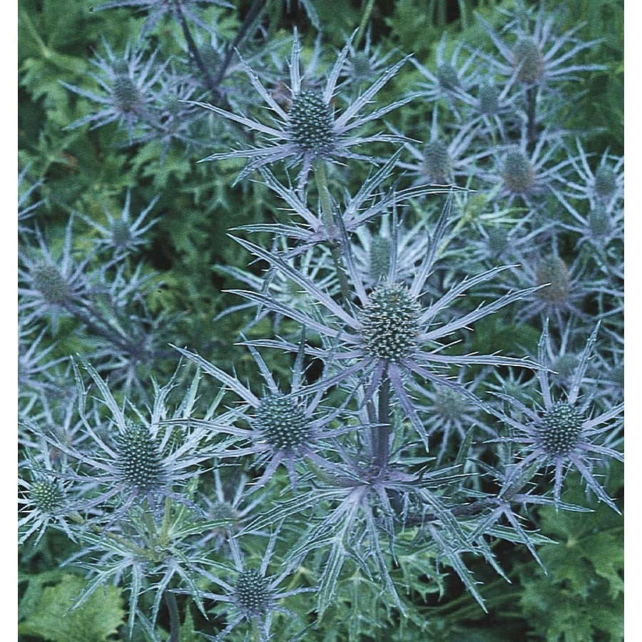 1-Quart Sea Holly (L24895)