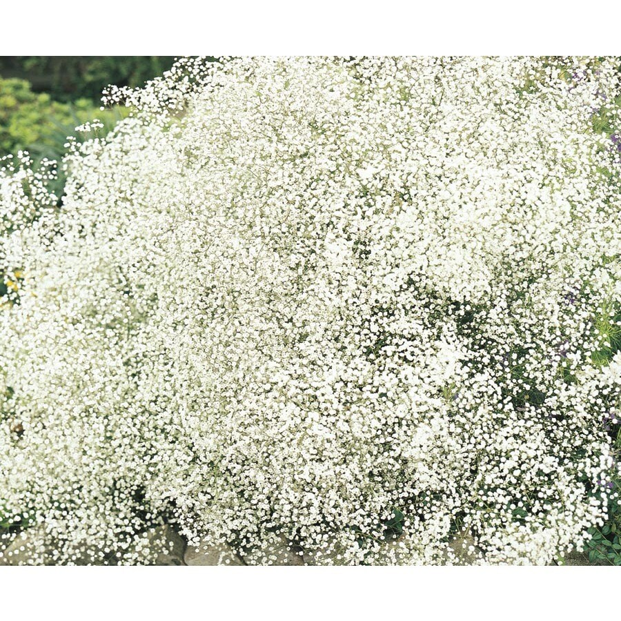 1-Quart Baby's Breath (Lw04167)