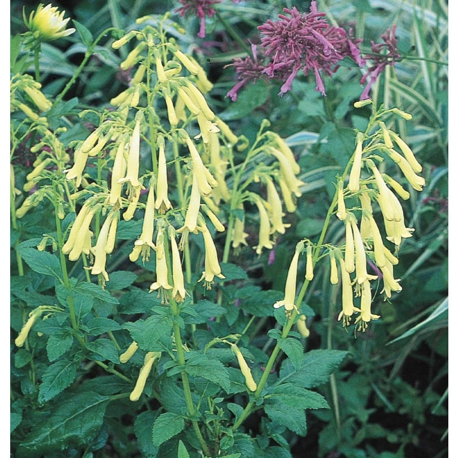 1-Quart Yellow Trumpet Cape Fuchsia (L16657)