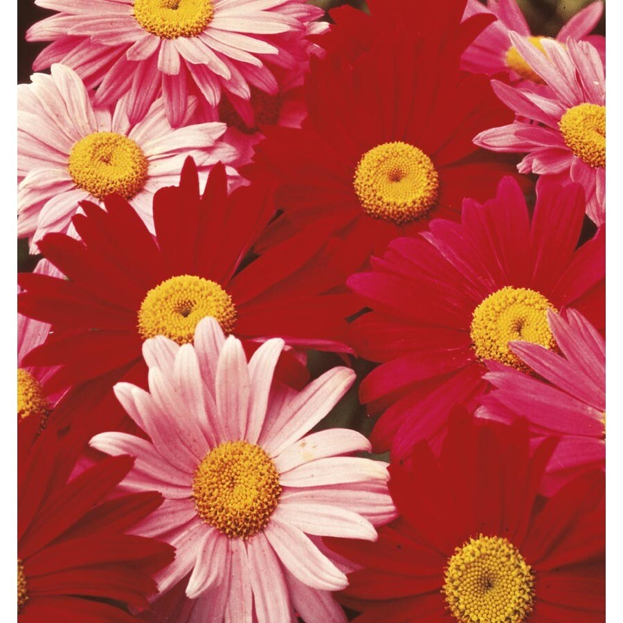 1-Quart Painted Daisy Mix (L6092)