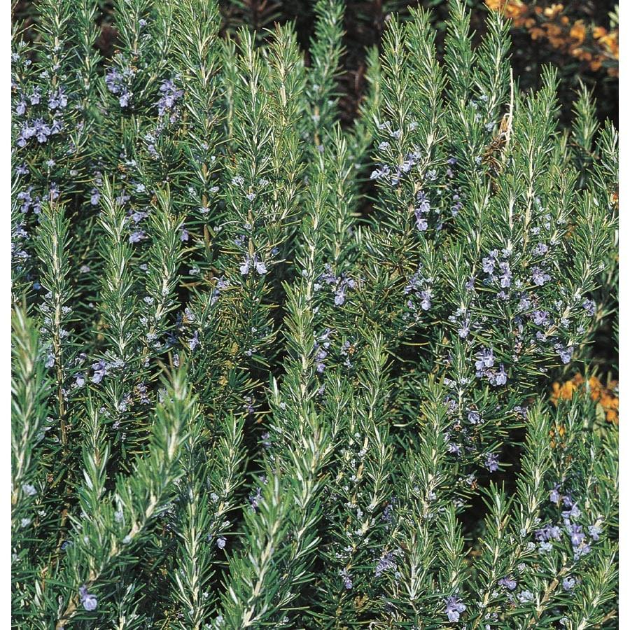 1-Quart Blue Rosemary Accent Shrub (L7037)