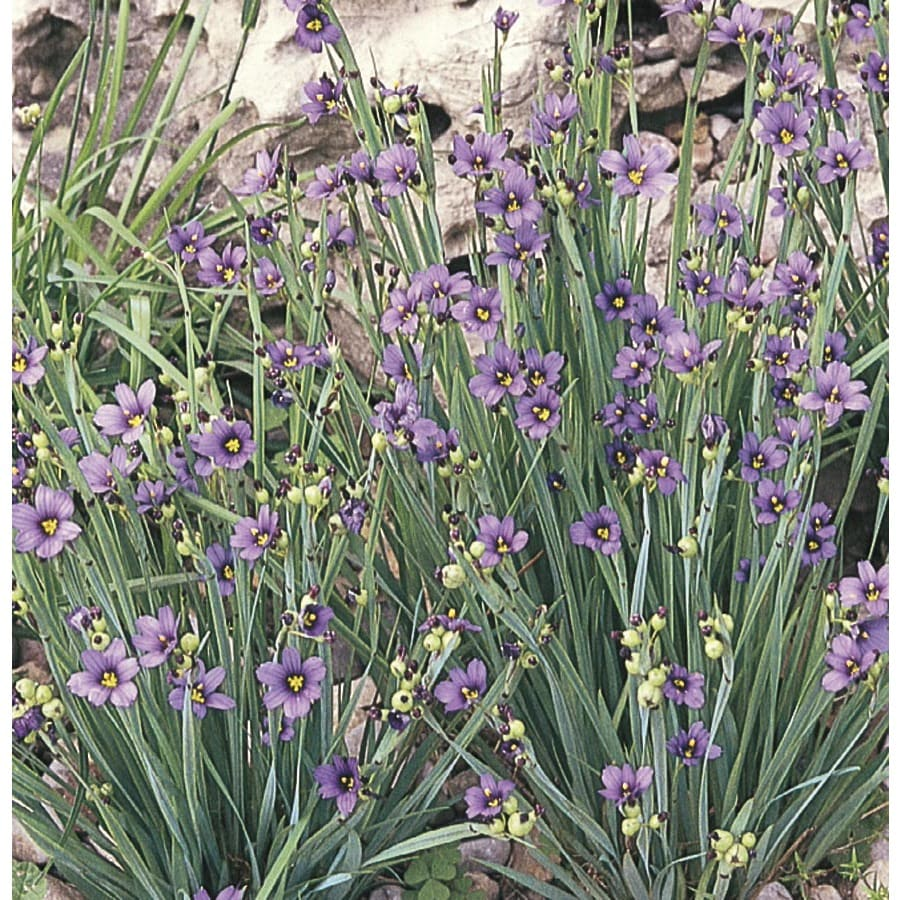 1-Quart Blue-Eyed Grass (L2277)