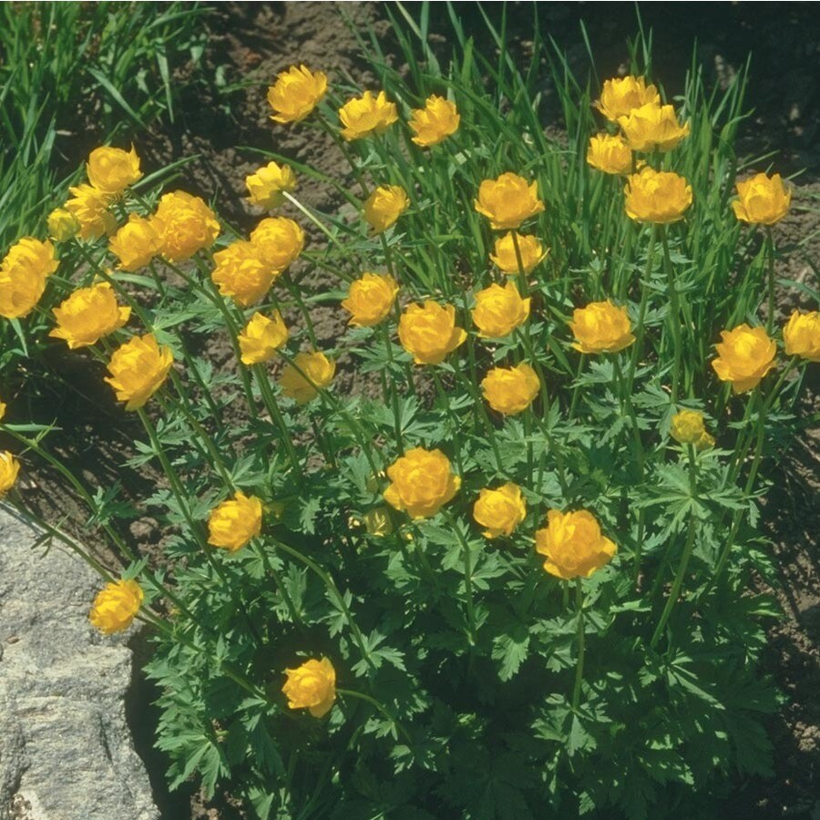 1-Quart Globe Flower (L8455)