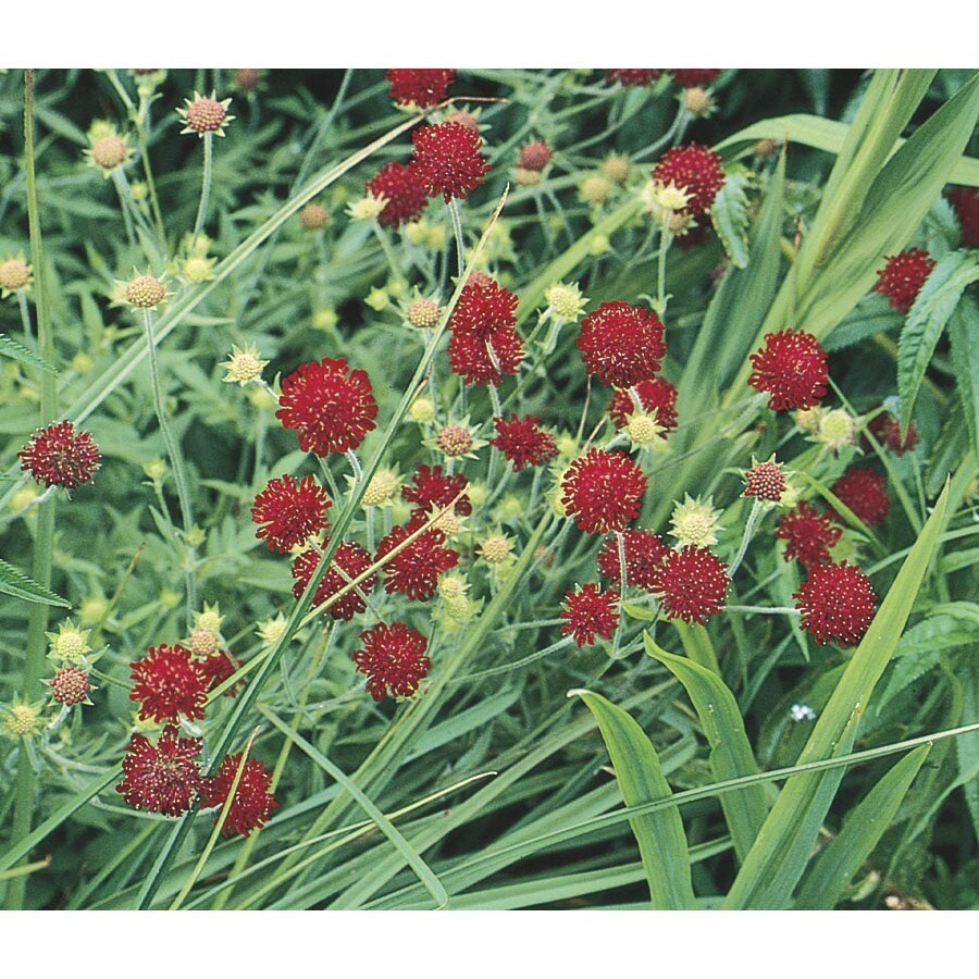 1-Gallon Knautia (L10218)