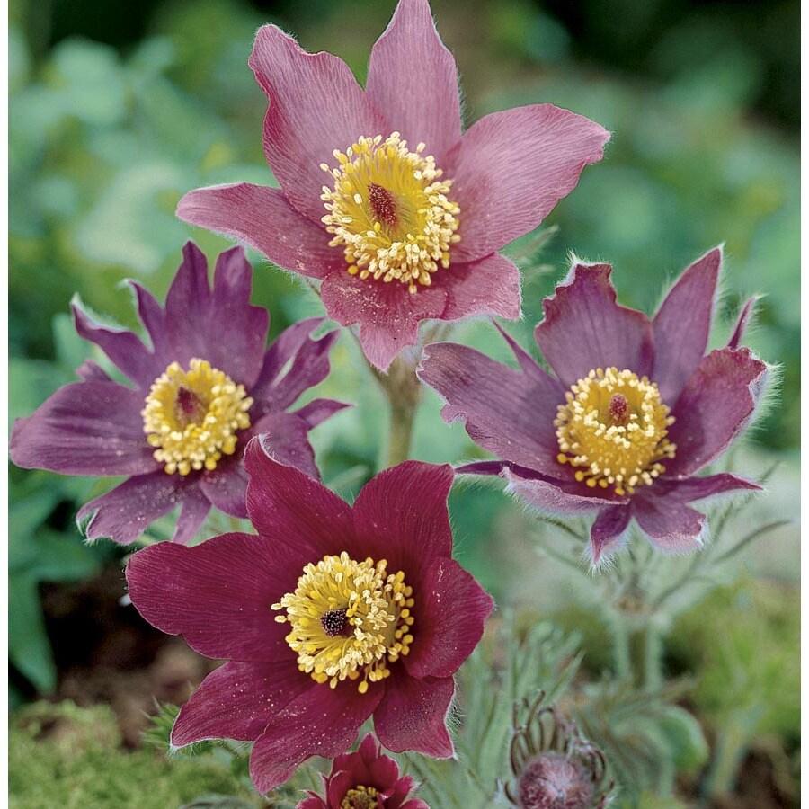 1-Gallon Pasque Flower (L8021)