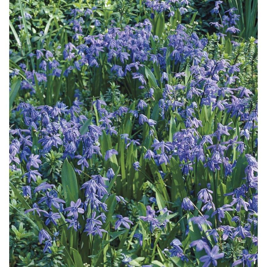 1-Gallon Wood Squill (Lw02455)