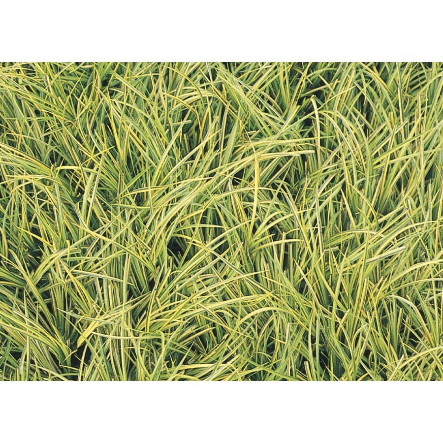 2.25-Gallon Sweet Flag Grass (L14982)