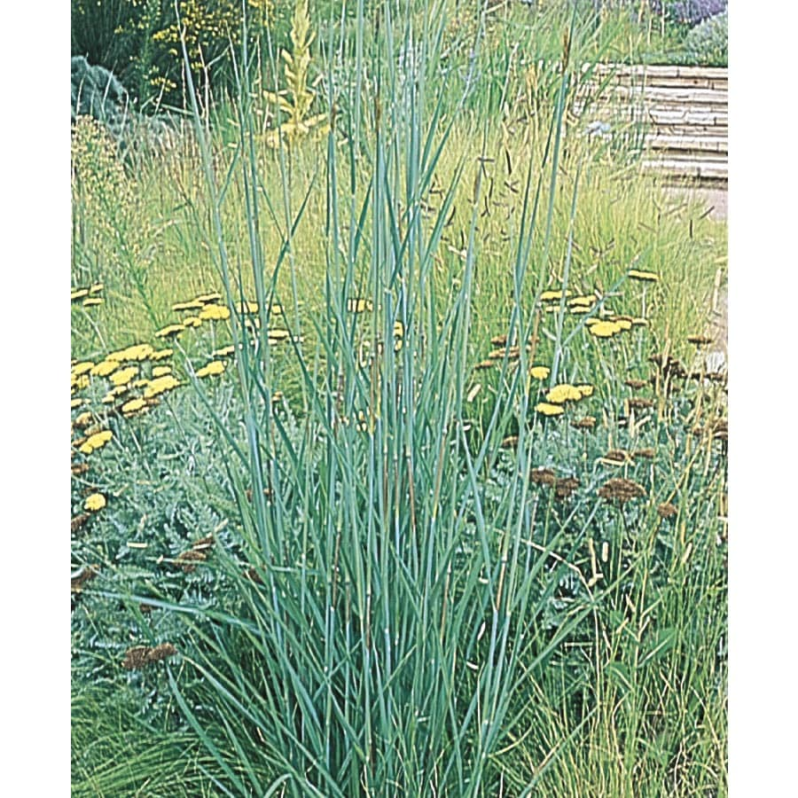 2.25-Gallon Big Bluestem Grass (LW03986)