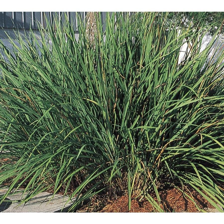2.25-Gallon Fakahatchee Grass (L10531)