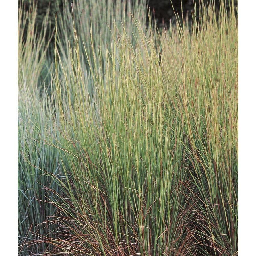 2.25-Gallon Little Bluestem Grass (LW02670)