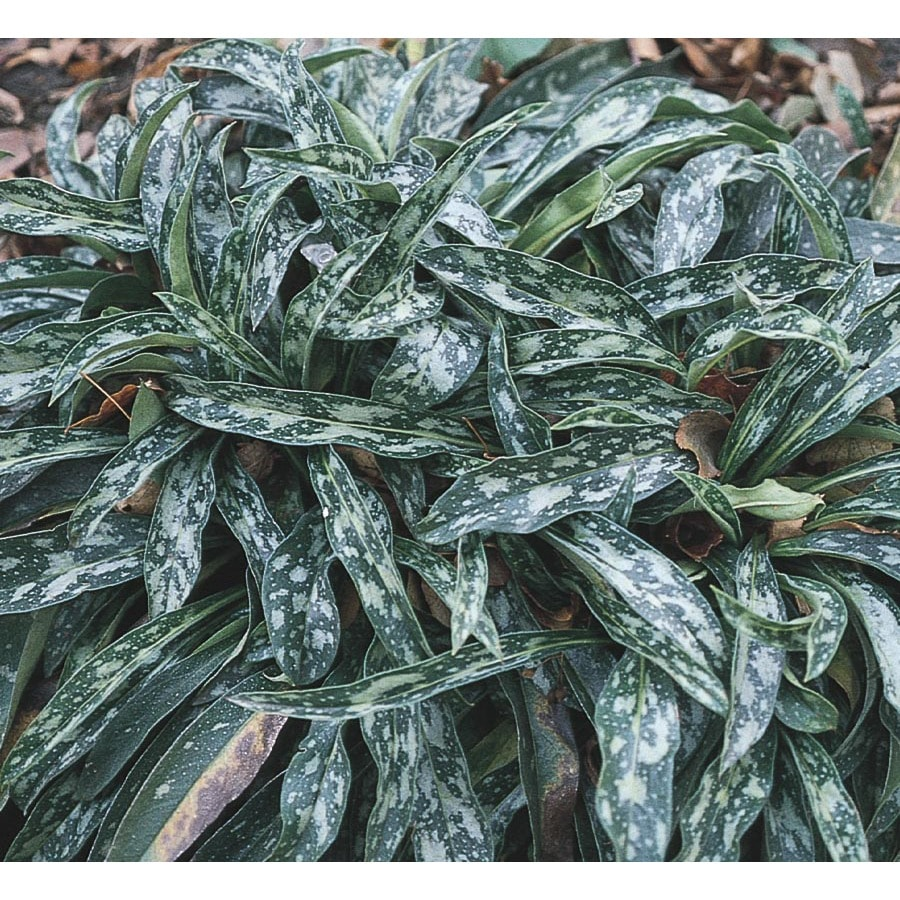 2.5-Quart Longleaf Lungwort (L5677)