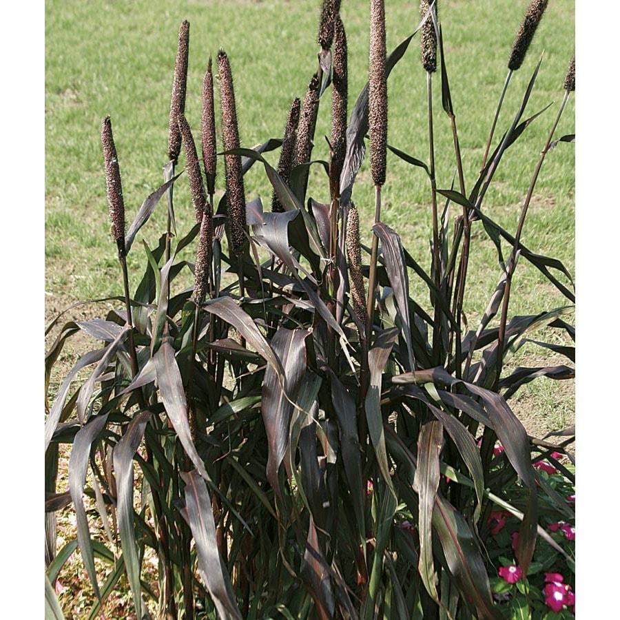 1.5-Gallon Purple Majesty Ornamental Millet (L15626)