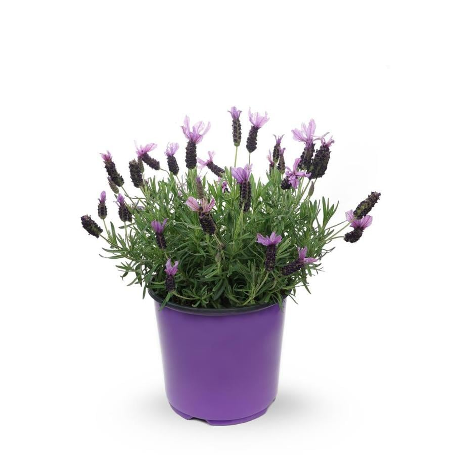 Shop 1 5 Gallon Potted English Lavender L6071 At Lowes Com