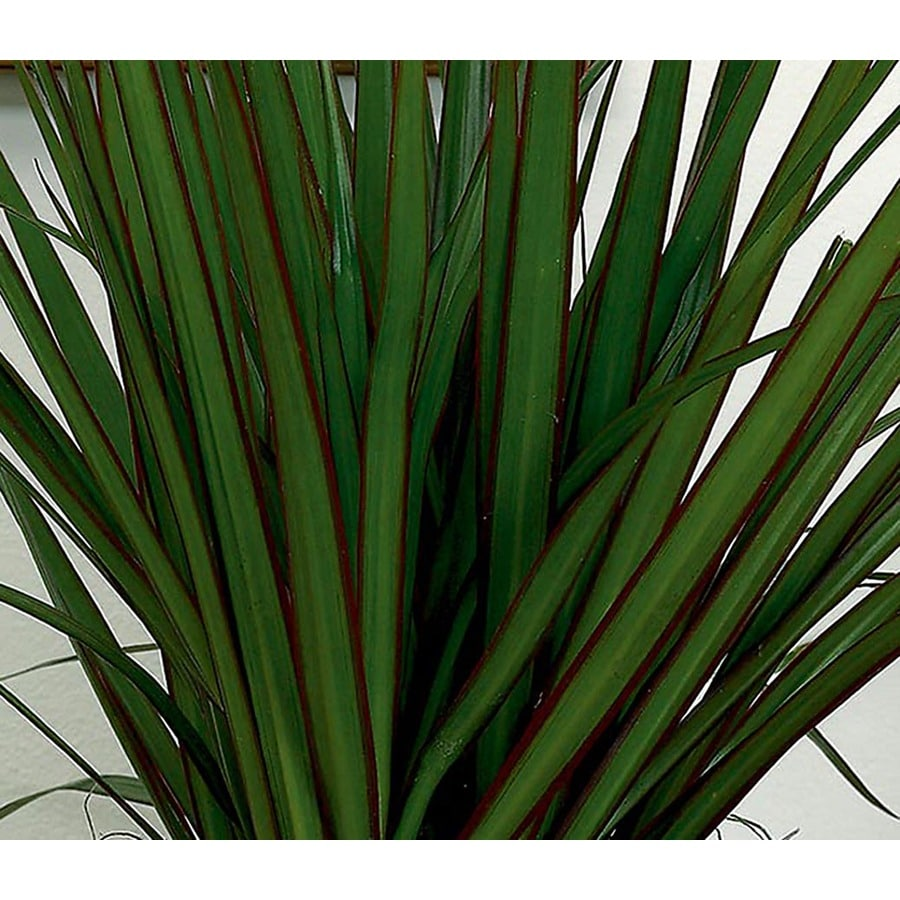 1.14-Gallon Dracaena Marginata (L20958hp)