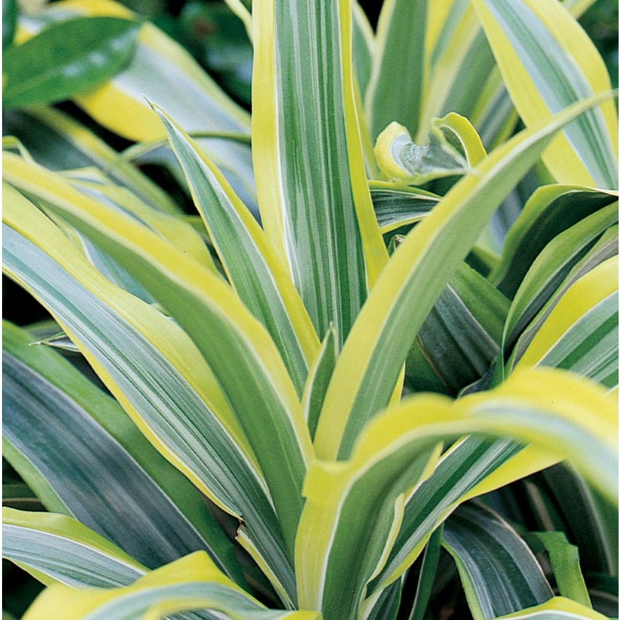 1.92-Gallon Lemon Lime Dracaena (L10059hp)
