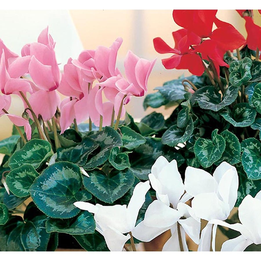 1.25-Quart Cyclamen (LW04268hp)