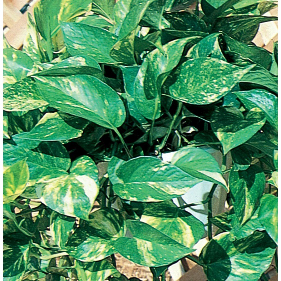 3-Quart Golden Pothos (Ltl0077)