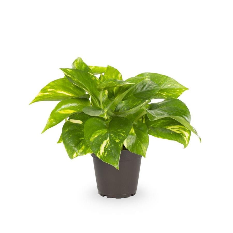 13-oz Golden Pothos (Ltl0077)